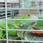 Iguana Behavior as well as Temperament